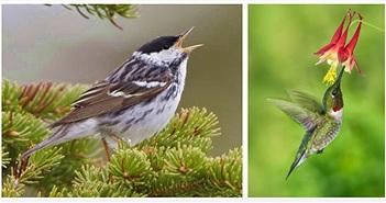 """Loài chim có khả năng """"dị"""": Ăn gấp đôi trọng lượng cơ thể"""
