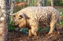 Loài lợn độc lạ dễ thương như cừu, thông minh như chó