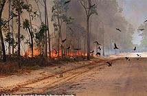 Chim thông minh biết dùng lửa săn mồi, gây đại họa khủng khiếp