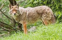 Khám phá choáng váng về sói đồng cỏ ít ai hay biết