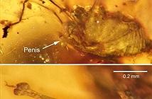 Phát hiện nhện 99 triệu năm tuổi trong tư thế giao phối