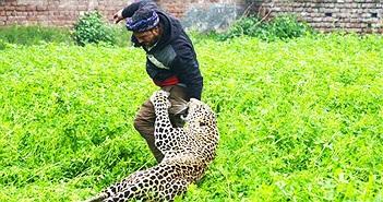 Ấn Độ: Báo hoa mai mò vào làng, tấn công bất cứ ai bắt gặp