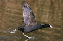 Sự thật gây bất ngờ về chim sâm cầm