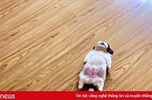 Chú chó ở Philippines bị chế ảnh khắp mạng xã hội vì dáng ngủ khó đỡ