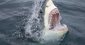 Chất độc trong người cá mập trắng vô hại với nó nhưng tác động nặng nề đến hệ sinh thái
