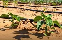 Công nghệ biến sa mạc thành đất trồng chỉ sau 7 tiếng