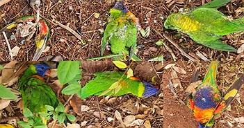 Virus lạ khiến chim cầu vồng chết hàng loạt