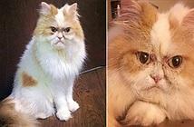 Chú mèo cau có hệt như Grumpy bỗng chốc nổi tiếng