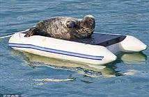 Hải cẩu bá đạo, chiếm thuyền hơi lật làm giường riêng
