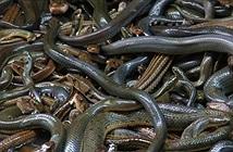 Đảo rắn Brazil - nơi kinh hoàng nhất thế giới