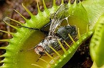 Sự tiến hóa kỳ lạ của loài cây ăn thịt