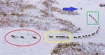 Sự thật đằng sau bức ảnh đàn sói đầy nhân văn đang gây bão cộng đồng mạng