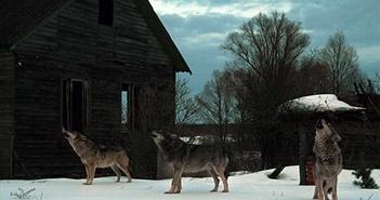 Loài sói xám Chernobyl đang phát triển mạnh