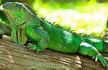 Thú nuôi độc lạ đe dọa hệ sinh thái địa phương