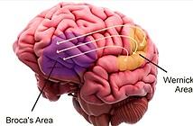 Điều gì xảy ra trong bộ não khi chúng ta học ngôn ngữ?