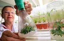 Loài hoa hồi sinh từ hạt giống 32.000 năm tuổi
