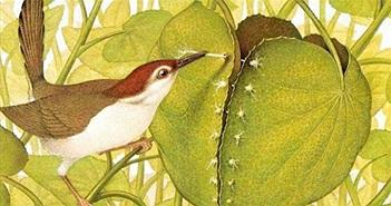 Bí mật chim thợ may, loài chim khéo léo may cả tổ mình