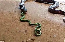 Rắn độc 1m quằn quại nôn ra rắn khác dài... 1,4m