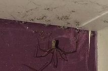 """Thót tim nhện khổng lồ cùng """"đội quân"""" nhện con bò trên trần"""