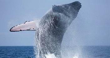 Video: Thợ lặn suýt bị cá voi nuốt chửng khi đang quay cảnh săn mồi