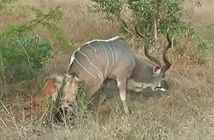 Clip: 2 con linh cẩu hạ linh dương vằn Kudu to lớn