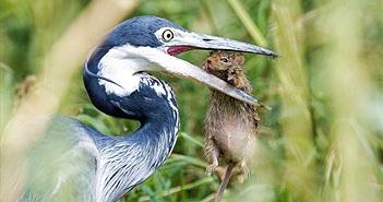 Kịch tính đến hãi hùng cảnh diệc lớn săn giết chuột