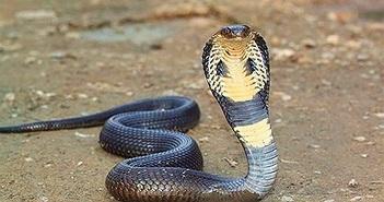 Chi tiết hổ mang Ai Cập, loài rắn trong truyền thuyết và đời thực