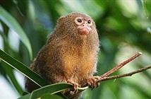 Kỳ thú loài khỉ bé nhất thế giới, chỉ bằng que kem bơ