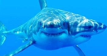 Sự xuất hiện ngày càng nhiều cá mập có hai đầu