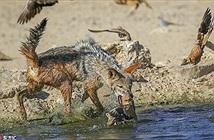 Chó rừng muối mặt với màn săn chim thất bại