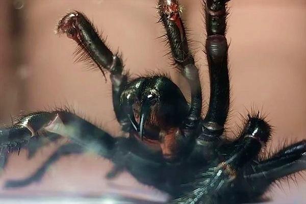 Nọc độc của nhện có thể bảo vệ nạn nhân đột quỵ chống lại tổn thương não