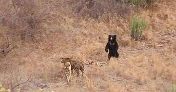 Hổ dữ tính thịt gấu lớn, ai dè nhận trái đắng