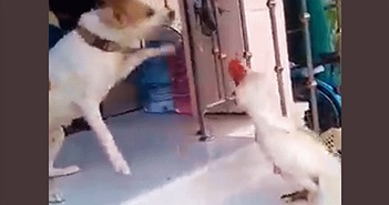 Video: Bị gà trống tấn công, chó đực 5 lần 7 lượt bỏ chạy