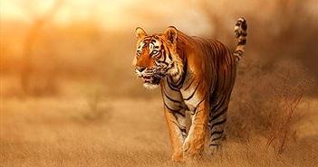 Lý do hổ có màu lông rực rỡ vẫn là hung thần của rừng xanh