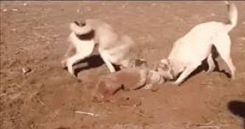 Video: Chó Kangal tranh nhau xé xác chó sói