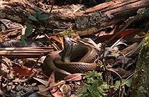 Video: Những con rắn trên dãy Hoàng Liên Sơn