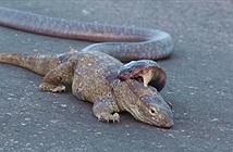 Kỳ đà đau đớn dưới cú ngoạm bạo lực của rắn hổ mang