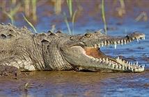 Hài hước phát hiện nhiều loài cá sấu thích ăn rau xanh