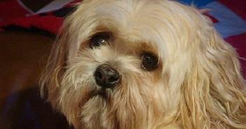 Khám phá giống chó thích hợp nuôi trong căn hộ và chung cư