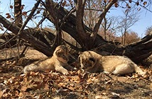 Đôi sư tử thụ tinh nhân tạo đầu tiên giờ ra sao?