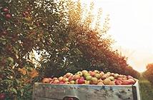 Choáng hơn 50.000 quả táo trên cây bốc hơi như ma quỷ