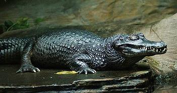 Video: Cá sấu ăn thịt người ngụy trang dưới sông sẵn sàng tấn công