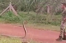 Người lính tay không bắt gọn rắn hổ mang chúa