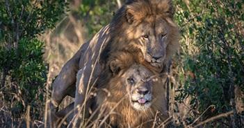 Sư tử đực đồng tính cực yêu khi bị bắt gặp đang thân mật
