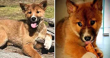 """Đại bàng đánh rơi """"chó con"""", xét nghiệm ADN phát hiện điều kỳ diệu"""
