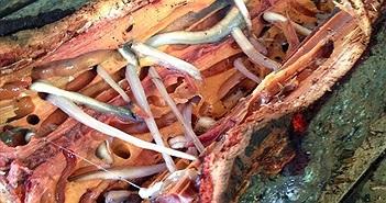 Món ăn đầy bổ dưỡng nhưng khiến nhiều người chết khiếp khi xem chế biến