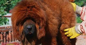 Loài chó giá tiền tỷ, từ biểu tượng vương quyền đi đến... lò mổ