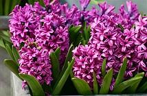 Trồng hoa dạ lan hương đón Tết Ất Mùi