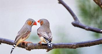 Chim non có thể nhận ra giọng của bố mẹ từ trong trứng