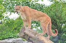 Sư tử bị bắn chết thê thảm vì biết mùi vị thịt người